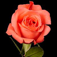 Movie Star Roses Light Orange For Delivery to Sanford, Florida