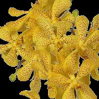 90 Yellow Salaya Mokara Orchid Flowers For Delivery to Albert_Lea, Minnesota