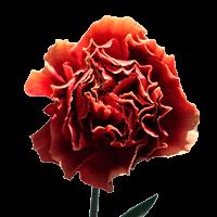 Piet Bi-Color Carnations  For Delivery to Philadelphia, Pennsylvania