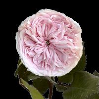 72 Wabara Senlitsu Garden Roses For Delivery to San_Jose, California