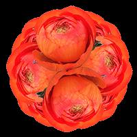 150 Orange Ranunculus For Delivery to San_Ysidro, California