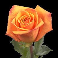 Amber Roses Dark Orange For Delivery to Pottstown, Pennsylvania