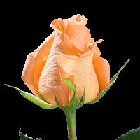 Orange Unique Roses Orange For Delivery to Brighton, Colorado