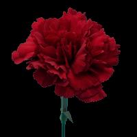 Zurigo Carnations Burgundy For Delivery to Pennsylvania, Local.Globalrose.Com
