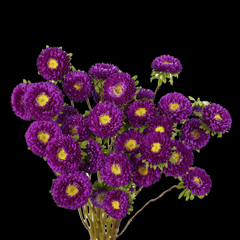Purple Matsumoto Asters
