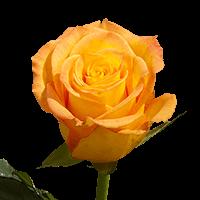 Kerio Roses Yellow  with Orange Tips For Delivery to Bullhead_City, Arizona