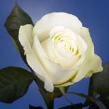 Polar Star Roses