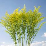 Aster Solidago Flowers