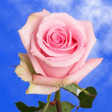 Soft Light Pink Roses Global Rose