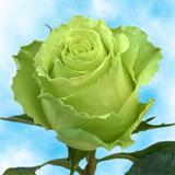 Limbo Roses