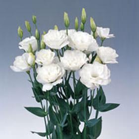 Best white lisianthus flowers global rose best white lisianthus flowers thecheapjerseys Choice Image