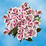 120 Blooms of Bi-Color Fancy Alstroemerias 30 Stems                                                              For Delivery to Latrobe, Pennsylvania