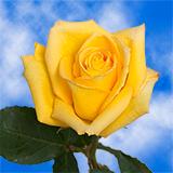 Mohana Roses