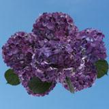 40  Purple Hydrangea Flowers                                                              For Delivery to Durango, Colorado
