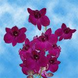 Dark Pink Madam Pink Orchids