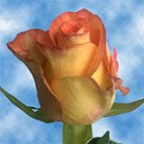 Roselle Roses