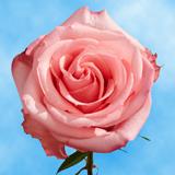 High & Bonita Roses