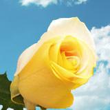 Yellow & Peach Roses