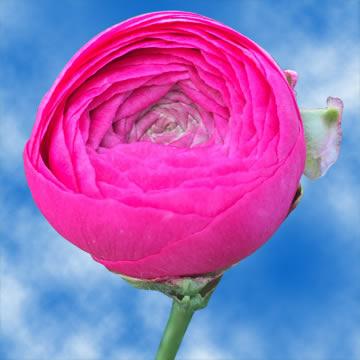 Buy Ranunculus Dark Pink Flowers For Sale