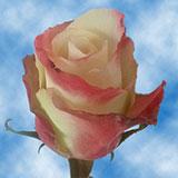 Aubade Roses