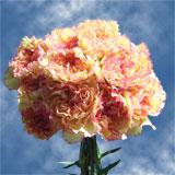 Fiesta Komac Bi-Color Carnations
