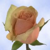 Azafran Roses