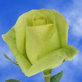 Amandine Roses