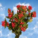 Cherry Hypericum