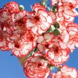 Christmas Mini Carnations