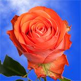 Show Girl Roses