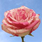 Magic Times Roses