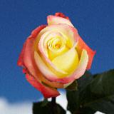 Florida Roses