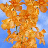 Orange Yubkuan Orchids