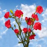 Hot Pink Mini Carnations