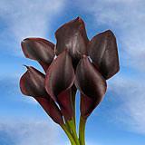 Dark Purple Calla Lilies