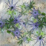 Eryngium Flowers