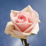 Fenice Roses