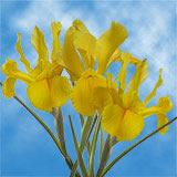 Yellow Nevada Iris