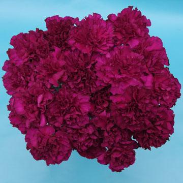 Monsenor Carnations