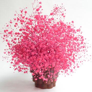 Fresh Hot Pink Babys Breath Natural Flowers For Sale | GlobalRose