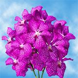 Hot Pink Vanda Orchids