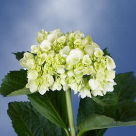 Hydrangea flowers for sale global rose diameter mightylinksfo