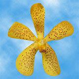 20 Yellow Salaya Mokara Orchid Flowers                                                               For Delivery to Redmond, Washington