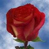 Latin Circus Roses