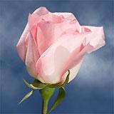 Rosita Vendela Roses