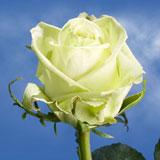 Green Tea Roses