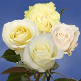 Cream  Ivory Roses