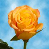 Kerio roses