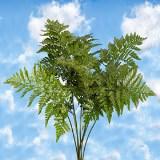 Leatherleaf Ferns