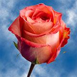 Imagination Roses